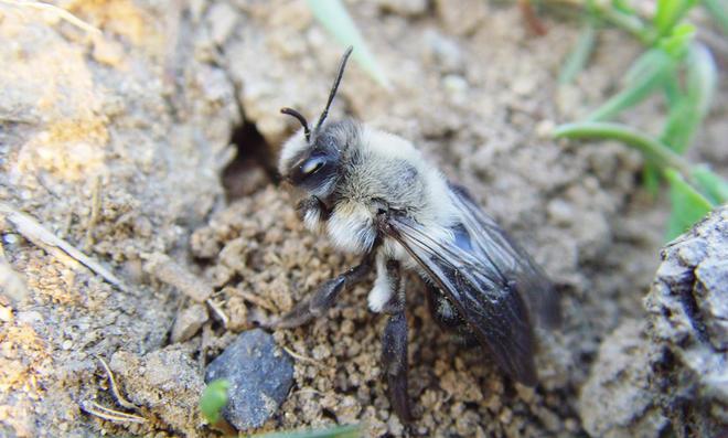 Erdbienen