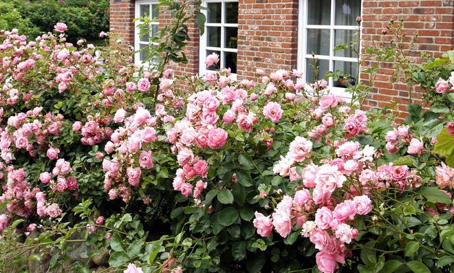 Friesenwall mit Rosen bepflanzt