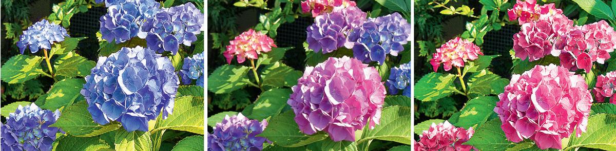 Blaue Hortensienblüten