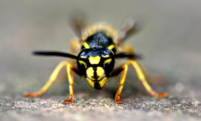 Wespen vertreiben