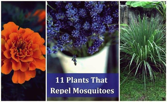 11 Pflanzen, die Mücken natürlich abwehren