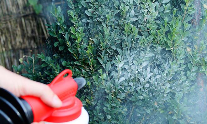 Buchsbaum wird mit Algenkalk eingesprüht