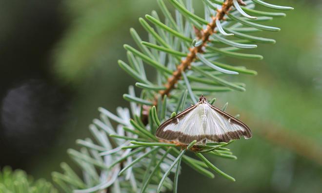 Buchsbaumzünsler-Schmetterling