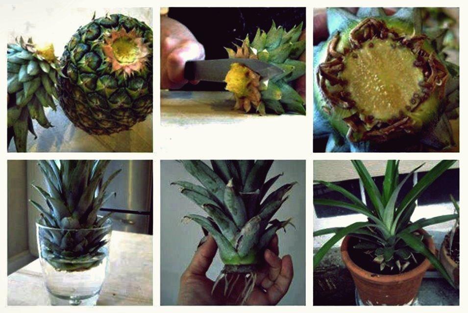Ananas im Blumentopf anbauen