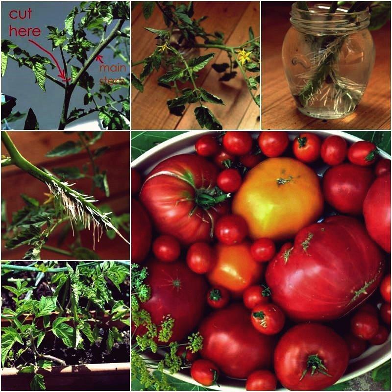 Kreative Ideen - DIY Wie man Tomatenpflanzen in einer Woche vermehrt und wurzelt