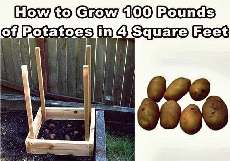 Wie man 100 Pfund Kartoffeln in vier Quadratfuß wächst