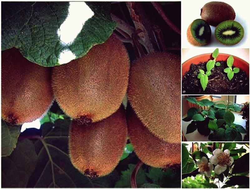 Wie man eine Kiwi-Pflanze aus Samen züchtet