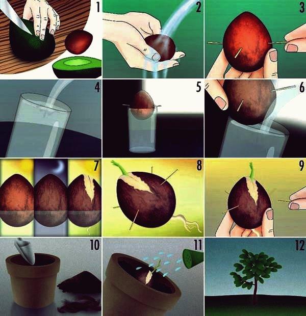 Wie man einen Avocado-Baum aus der Grube wächst